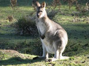 kangaroo-822199_1920